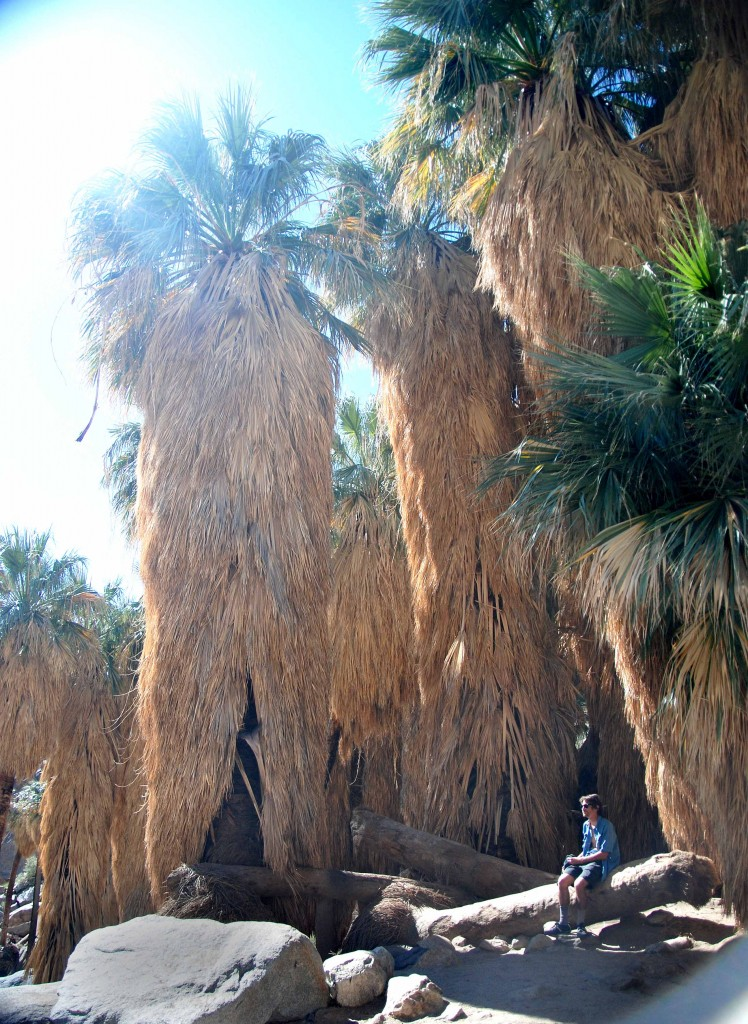 A group of palm trees in Anza Borrego Desert, California.