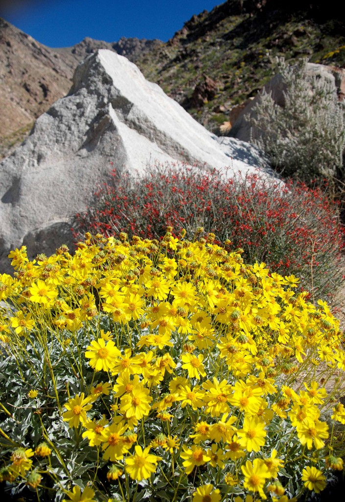 Spring wildflowers in Palm Canyon in Anza Borrego Desert.