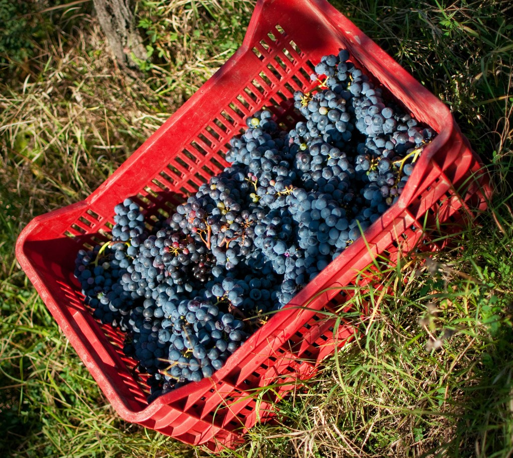 A caseta of sangiovese grapes in Fattoria Cerreto Libri's vineyard.