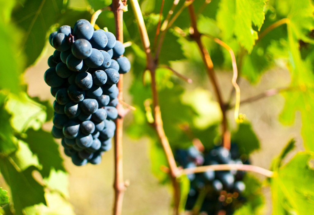 Grape bunches on vines in Tuscany.
