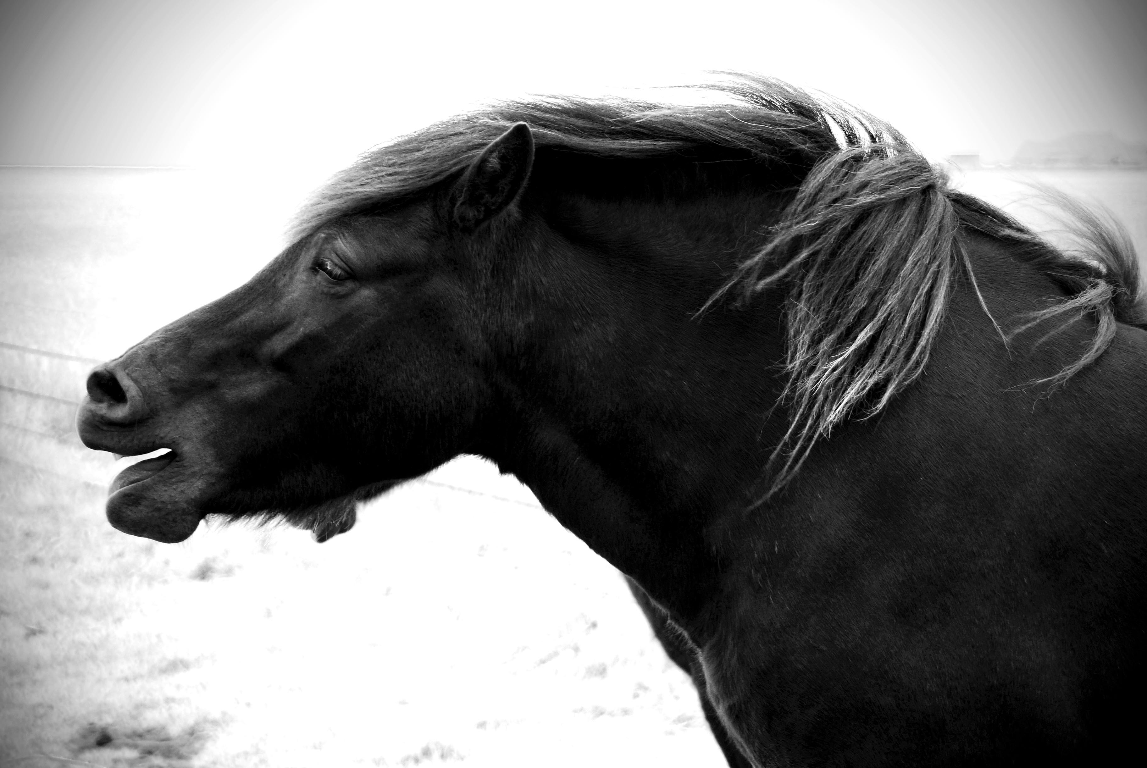 Icelandic Horse Black smaller Iceland Culture|The Icelandic Horse