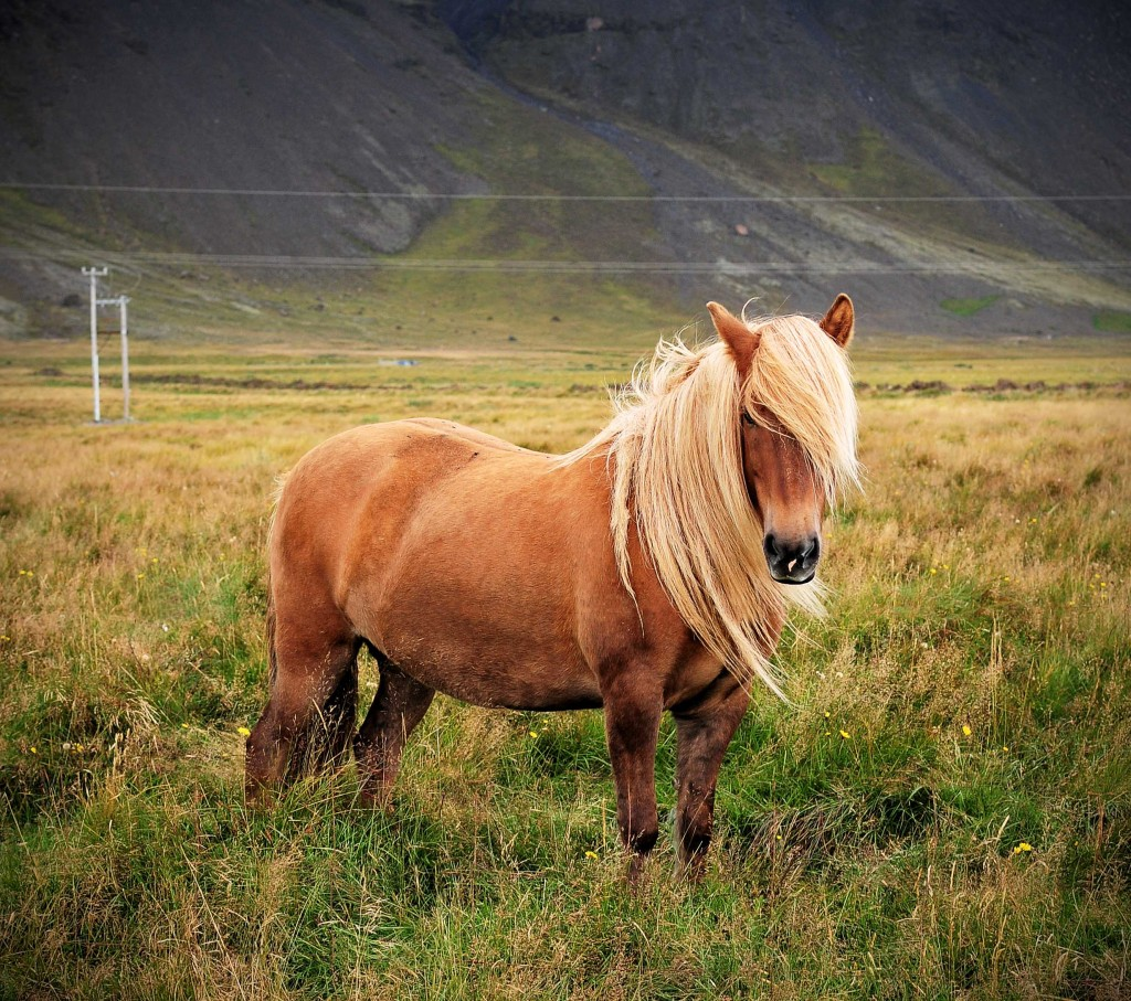 Icelandic Horse Blond smaller 1024x907 Iceland Culture|The Icelandic Horse