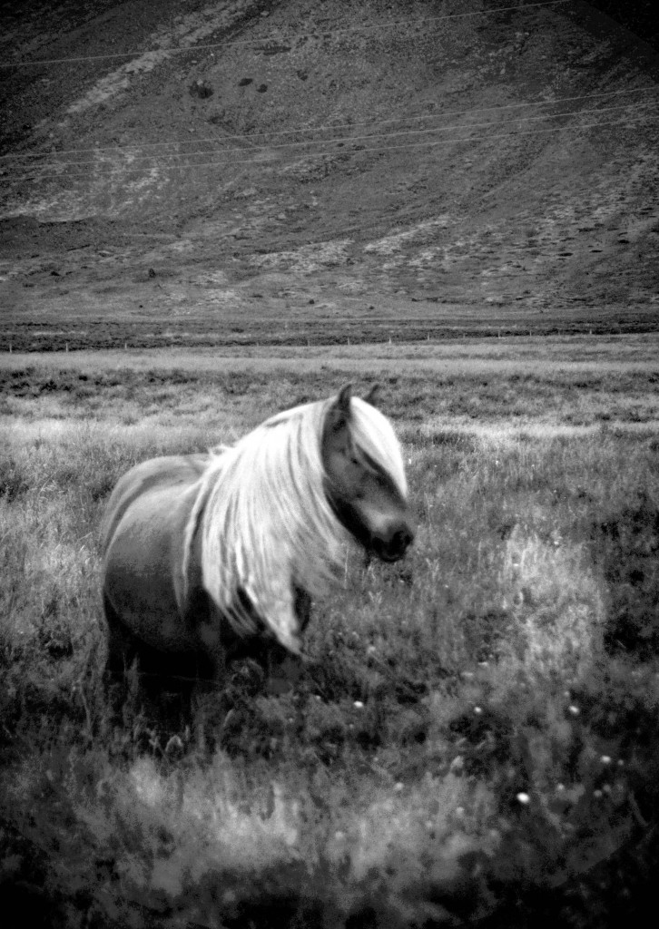 Icelandic horse 10smaller1 726x1024 Iceland Culture|The Icelandic Horse
