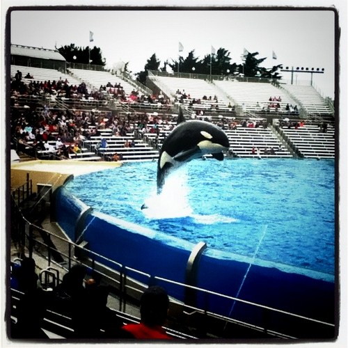Shamu at the Sea World in San Diego.