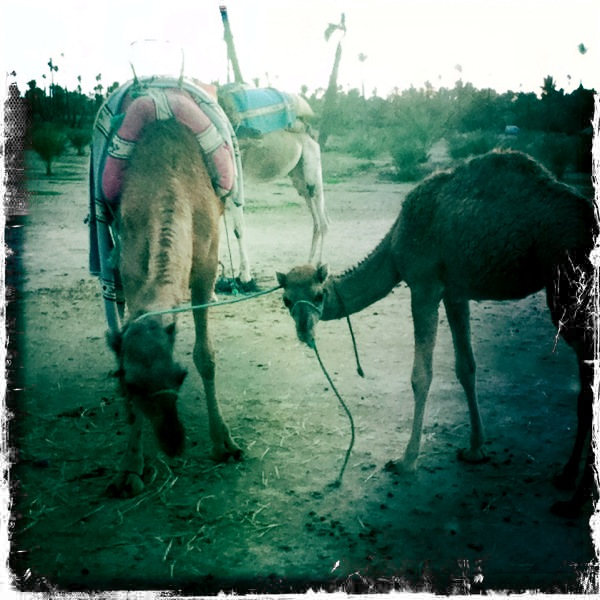 Camels in Marrakesh, Morocco