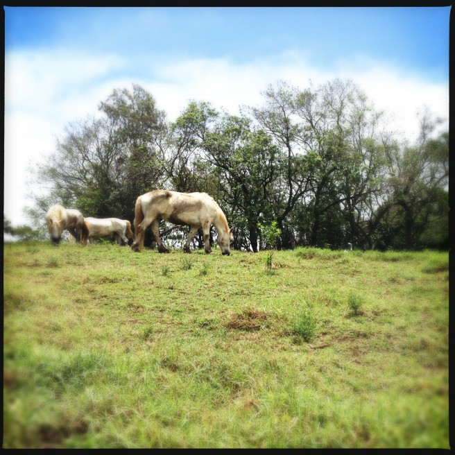 Horses grazing in Kula, Maui.