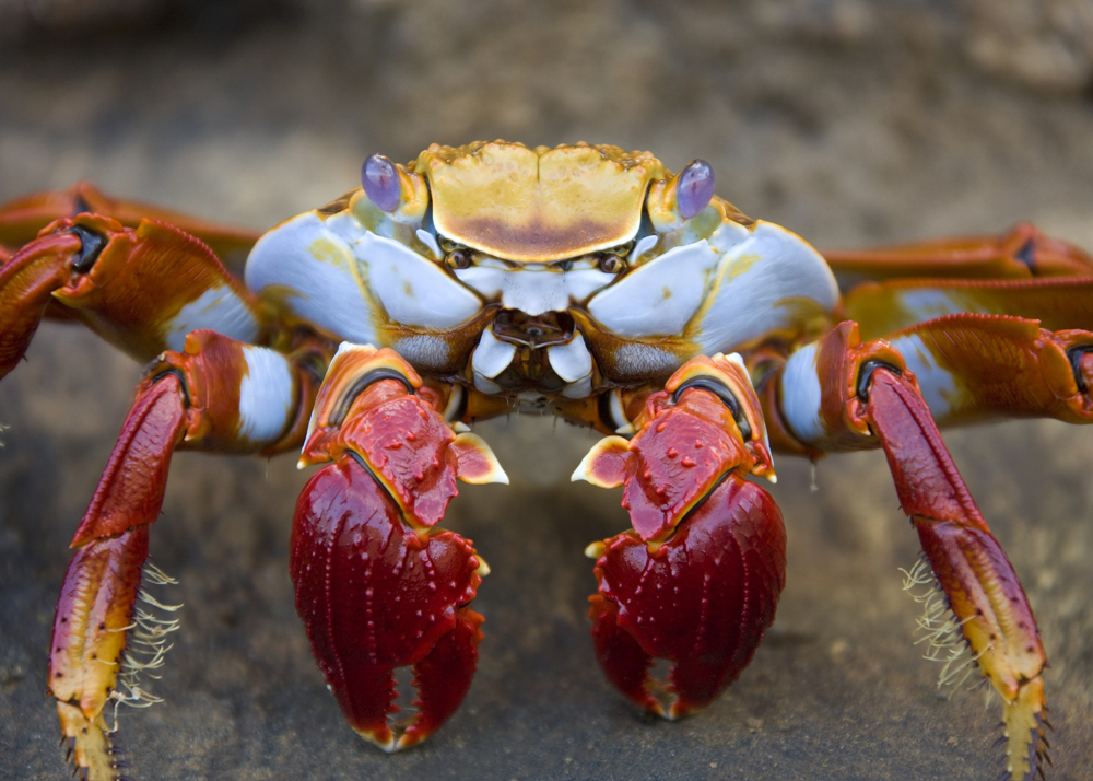 A sally light foot crab in the Galapagos Islands.