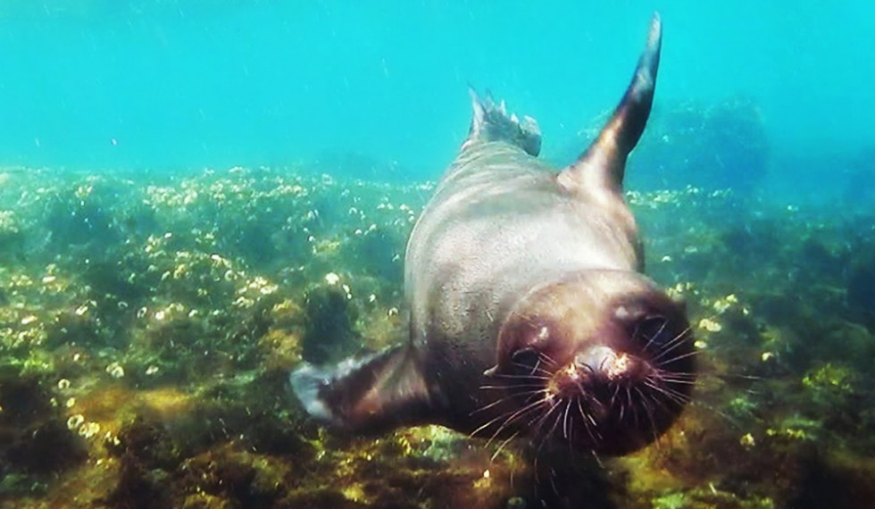 project_galapagos_sealion