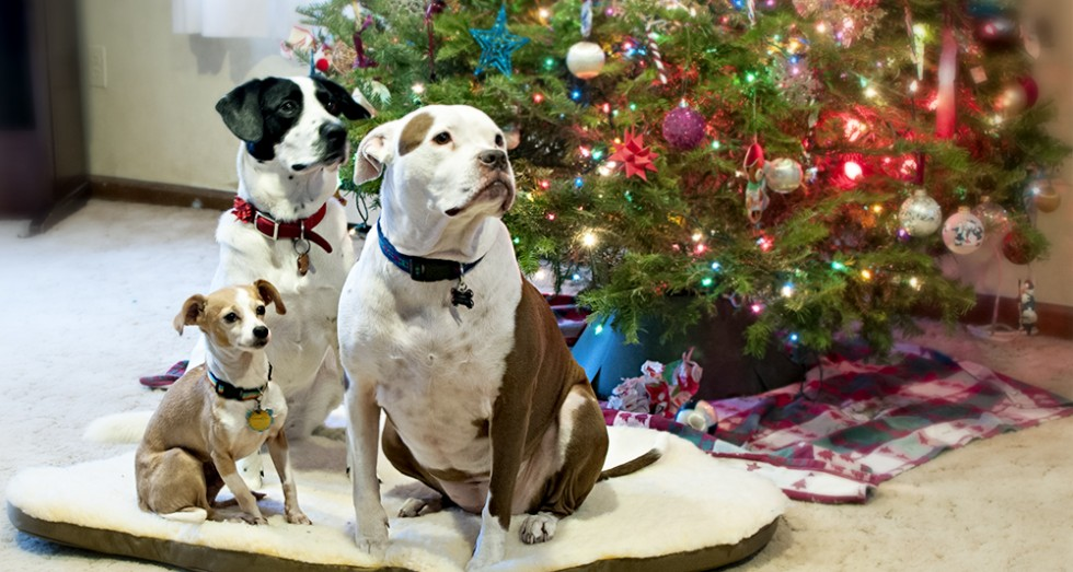 Three dogs trying out Skookum Dog's Sheepskin Bed (Memory Foam) in front of a Christmas Tree.