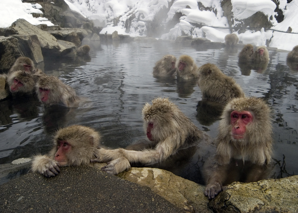 Snow monkeys in Japan.